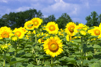 Sunflowers - McKee-Beshers Wildlife Management Area